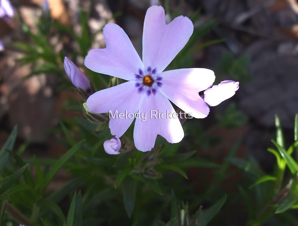 Purple Phlox by Melody Ricketts