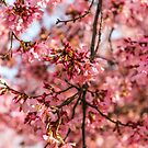 Pink Cherry Blossoms  by Southern  Departure