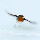Robin  by Custranz
