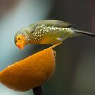Yellow-Head Star Finch by John Poon