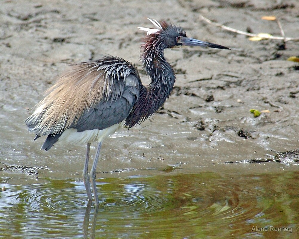 Tricolored Heron by Alana Ranney