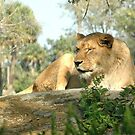 lions, cats Nikon by Margaret  Shark