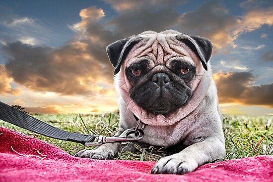 Pug by Matt Mawson