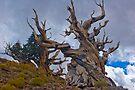 Bristle Cone Pines by photosbyflood