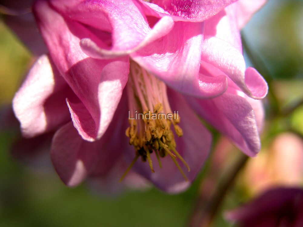 Close up  Pink  Aquilegia by Lindamell