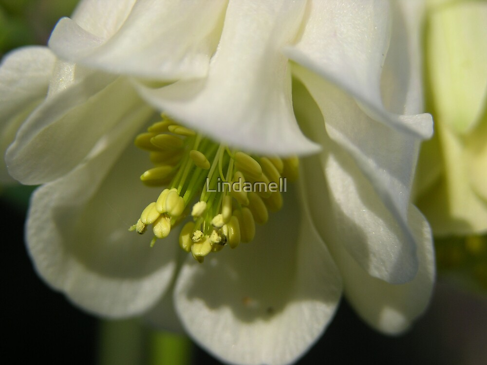 Close up  Aquilegia in White by Lindamell