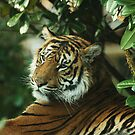 Sumatran Female by Franco De Luca Calce