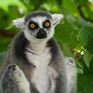 Ring Tailed Lemur by Bevlea Ross