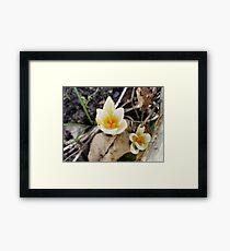 White Spring Crocus Framed Print