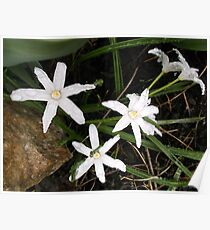 White Star of Bethlehem Flowers After Rain Poster