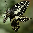 THE CITRUS SWALLOWTAIL- Papillio demodocus by Magriet Meintjes