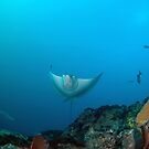 Eagle ray smile by Stephen Colquitt