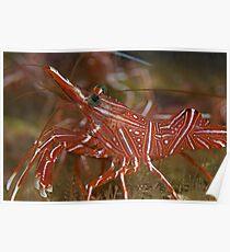 Cleaner shrimp - macro detail  Poster