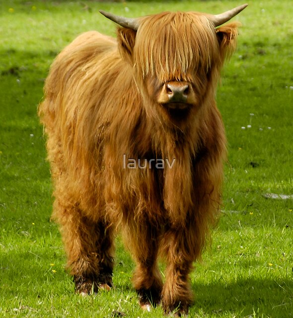 Highland Cow by laurav