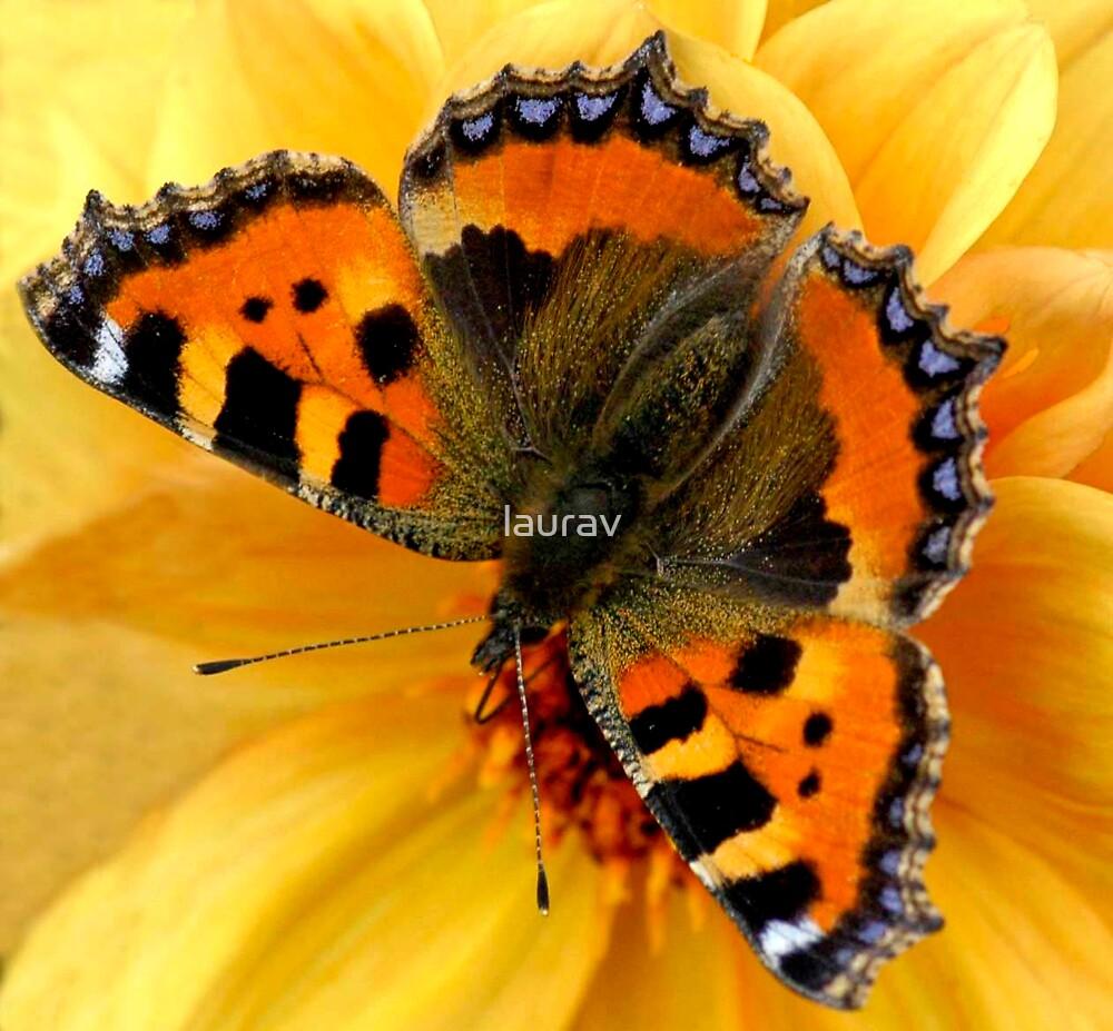 Butterfly by laurav