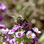 Bee in Macro with Purple Alice by TeAnne
