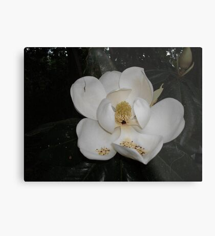 Southern Magnolia - first blossom Metal Print