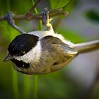 Chickadee Hanging Upside Down by TJ Baccari Photography