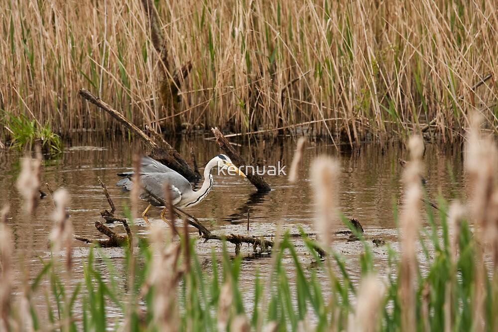 Grey Heron by kernuak