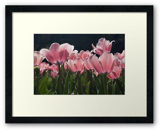 Pink Tulips by photosbyflood