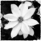Black and White Flower by Colleen Drew