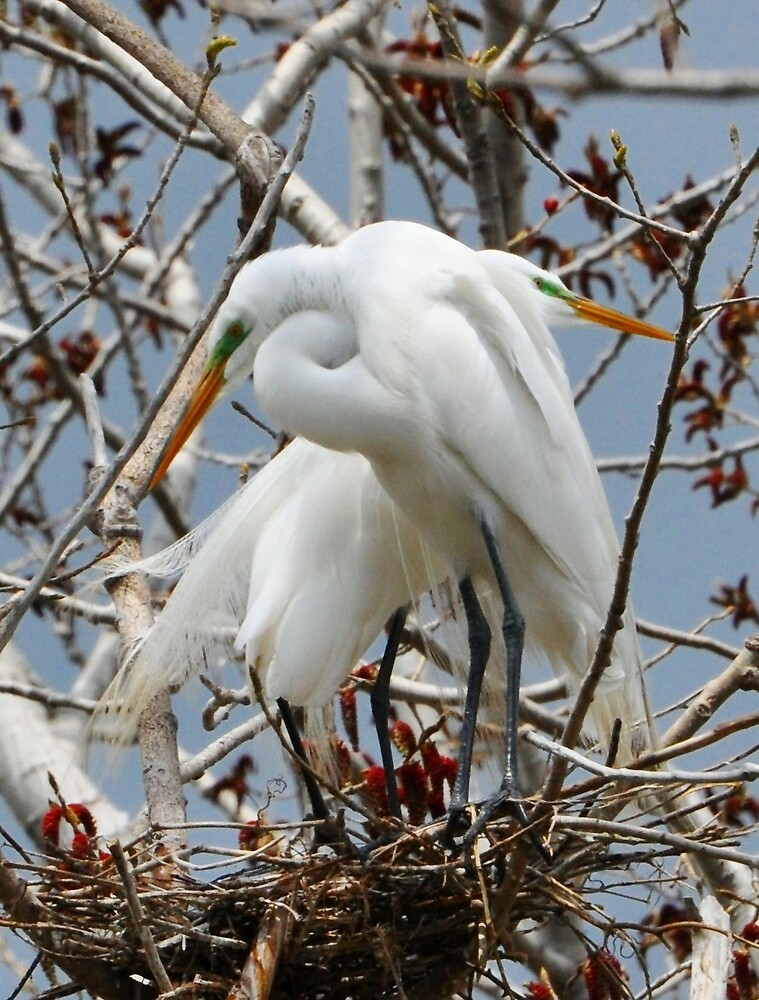 Great Egret Pair by Nancy Barrett
