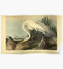James Audubon Vector Rebuild - The Birds of America - From Drawings Made in the United States and Their Territories V 1-7 1840 - Great American White Egret Poster