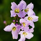 Cuckoo Flower by Kasia-D