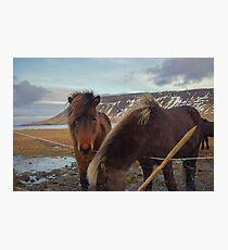 Islandpferde, Grundarfjordur, Snaefellsnes, Island Fotodruck