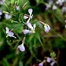 wild radish by Trish Peach