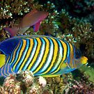 Regal Angelfish by Melissa Fiene
