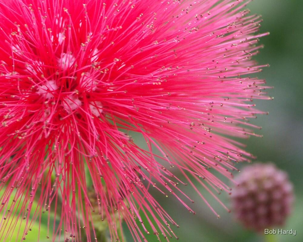 Powderpuff Flower by Bob Hardy