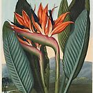 Botanical illustration: Bird of Paradise (Strelitzia) – State Library Victoria by StateLibraryVic
