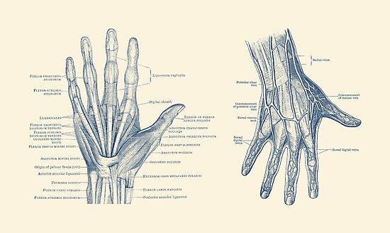 Láminas fotográficas «Anatomía de la mano humana - Vista doble ...