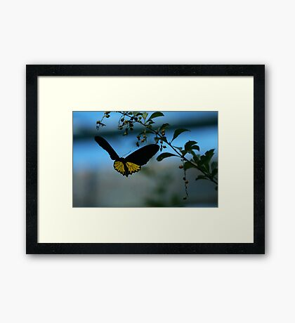 Golden Birdwing butterfly - on the wing Framed Print