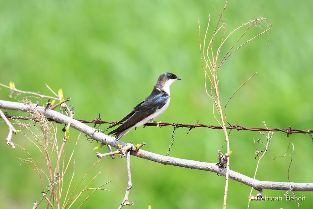 Tree Swallow by Deborah  Benoit