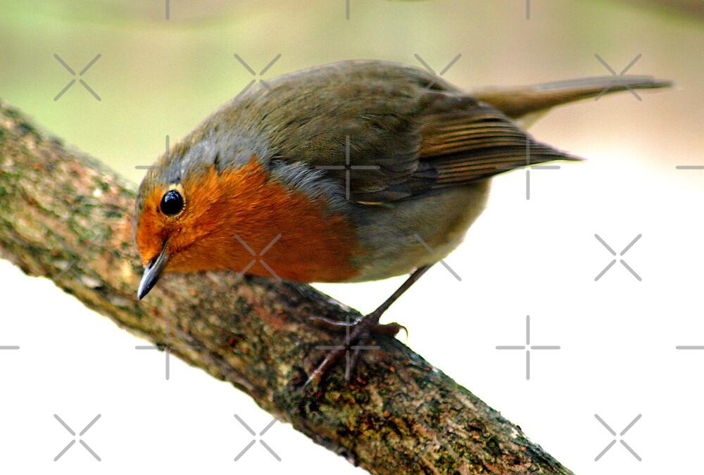 Robin 2 by Geoff Carpenter