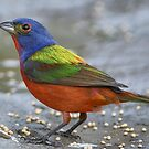 Male Painted Bunting Feeding on Millet Seed by Bonnie T.  Barry