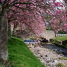 Cherry Blossom in Central Scotland by Jeremy Lavender Photography