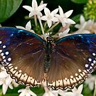 Blue and Brown Butterfly by Bonnie T.  Barry