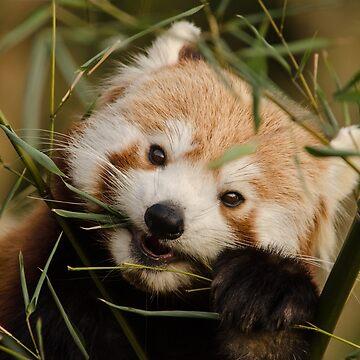 Mei Mei the Red Panda's dinner time by photosbygemmad