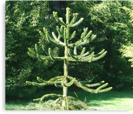 Monkey Puzzle Tree by George Cousins