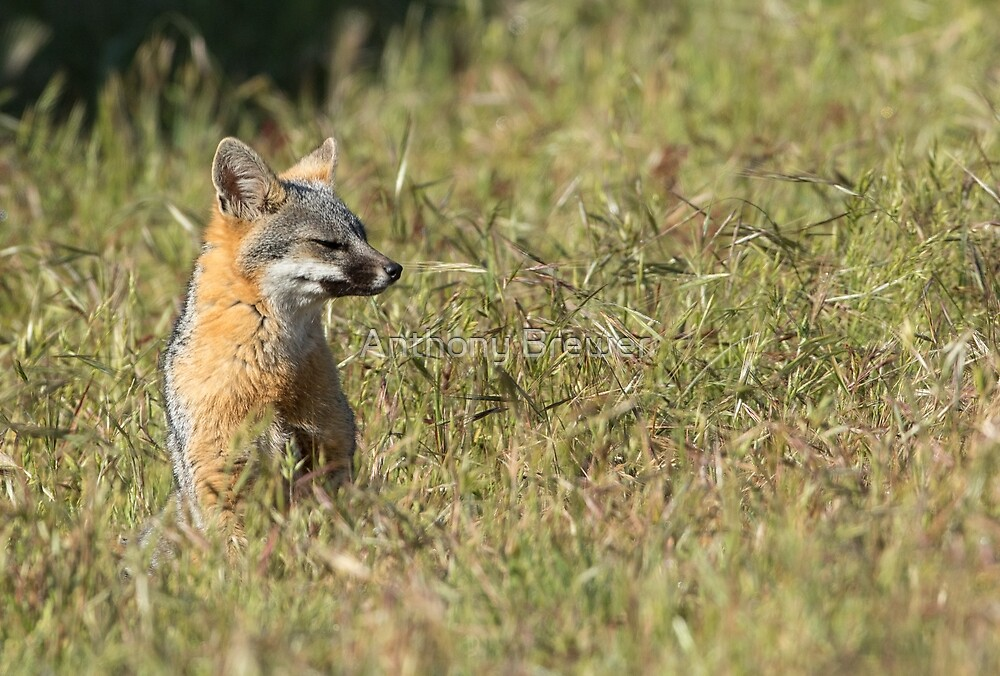 Sitting fox in a field of grass by Anthony Brewer