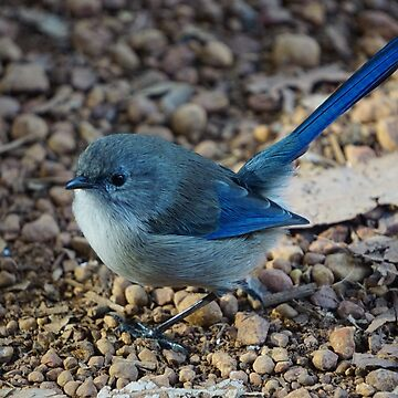 Blue wren by BigAndRed