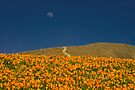 Poppies and the Man in the Moon by photosbyflood