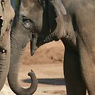 Elephants In Love by Aaron Blackwell