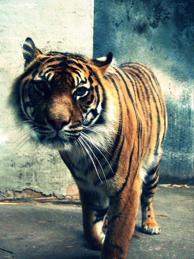 Tiger by xxlapse