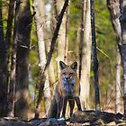 Fox on the rocks by Jim Cumming