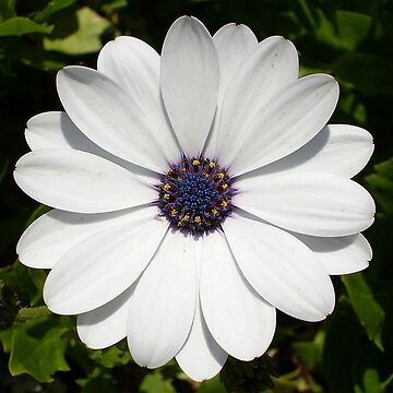 Beautiful Blossoming White Osteospermum Flower by taiche