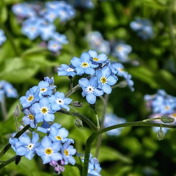 Forget-Me-Nots by lisa1970